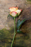 Rose on wood Royalty Free Stock Images