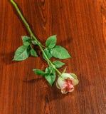Rose on wooden dark background. Stock Photos