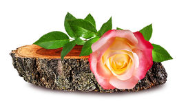 Rose  on a wooden сross section of tree trunk isolated on white Stock Photos