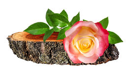 Rose  on a wooden сross section of tree trunk isolated on white Stock Image