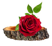 Rose  on a wooden сross section of tree trunk isolated on white Royalty Free Stock Images