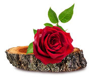 Rose  on a wooden сross section of tree trunk isolated on white Stock Photography