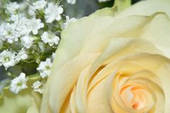 Peach Rose with Baby`s Breath closeup Royalty Free Stock Photography
