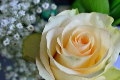 Peach Rose with Baby`s Breath Royalty Free Stock Photos