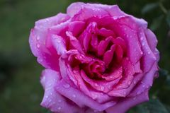 Pink rose. A rose is a woody perennial flowering plant of the genus Rosa, in the family Rosaceae, or the flower it bears. There are over a hundred species and Stock Photography