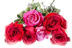 Six roses four red too pink and white with some green. A rose is a woody perennial flowering plant of the genus Rosa, in the family Rosaceae, or the flower it Stock Image