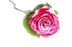It`s a roses that is pink and green with green. A rose is a woody perennial flowering plant of the genus Rosa, in the family Rosaceae, or the flower it bears stock photo