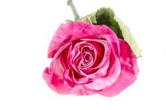 One pink and white roses with some green. A rose is a woody perennial flowering plant of the genus Rosa, in the family Rosaceae, or the flower it bears. There Stock Photo