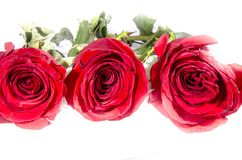 Three red roses with some green. A rose is a woody perennial flowering plant of the genus Rosa, in the family Rosaceae, or the flower it bears. There are over a stock photo