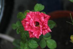 Rose Flower. Red rose. the beauty of the rose royalty free stock photo
