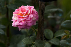 Rose. A rose is a woody perennial flowering plant of the genus Rosa, in the family Rosaceae, or the flower it bears. There are over a hundred species and Royalty Free Stock Photography