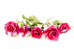 Five pink roses with some green. A rose is a woody perennial flowering plant of the genus Rosa, in the family Rosaceae, or the flower it bears. There are over a Stock Photography