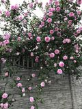 A blooming pink rose bush in a small village in the Ukrainian Countryside has pink roses. A rose is a woody perennial flowering plant of the genus Rosa, in the royalty free stock image