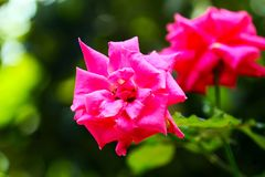 The pinky rose from the garden. A rose is a woody perennial flowering plant of the genus Rosa, in the family Rosaceae, or the flower it bears. There are over a Royalty Free Stock Photo