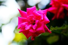 The Amazing Rose Flower in garden. A rose is a woody perennial flowering plant of the genus Rosa, in the family Rosaceae, or the flower it bears. There are over Stock Images