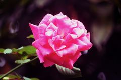 The Amazing Rose Flower in garden. A rose is a woody perennial flowering plant of the genus Rosa, in the family Rosaceae, or the flower it bears. There are over Stock Photos