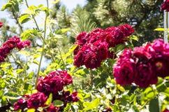 The rose bush red green blue white Stock Photo