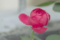 Rose. A rose is a woody perennial flowering plant of the genus Rosa, in the family Rosaceae, or the flower it bears. There are over a hundred species and Stock Image