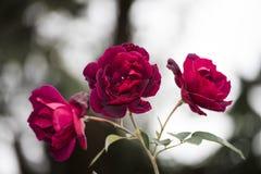 Red Rose plant in Kampala, Uganda, Africa Stock Photo