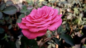 Indian Wedding Wild Megenta Rose Flower. A rose is a woody perennial flowering plant of the genus Rosa, in the family Rosaceae, or the flower it bears. There are royalty free stock image