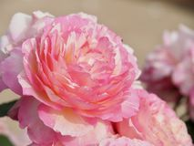 Sweet Pink Roses stock photo
