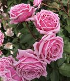 Pale Pink Roses royalty free stock image