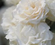Sweet White Roses royalty free stock images