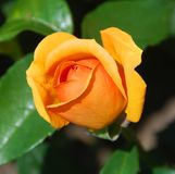 A rose is a woody perennial flowering plant. Of the genus Rosa, in the family Rosaceae, or the flower it bears. There are over a hundred species and thousands stock image
