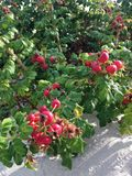 Rose (Rosa) Plant Bush with Rose Hips Growing in Sand Dunes. Stock Photo