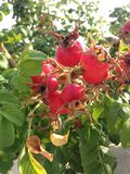 Rose (Rosa) Plant Bush with Rose Hips Growing in Sand Dunes. Royalty Free Stock Photography