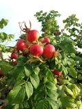 Rose (Rosa) Plant Bush with Rose Hips Growing in Sand Dunes. Stock Photography