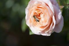 Rose y abeja coloreadas albaricoque Imágenes de archivo libres de regalías