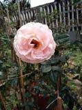 Rose y abeja en el jardín Foto de archivo