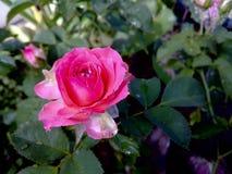 Rose y descenso Foto de archivo