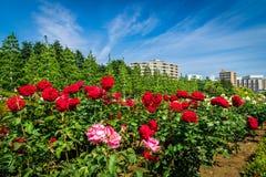 Rose y el cielo fotografía de archivo libre de regalías