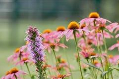 Rose y la púrpura colorearon las flores del prado delante del bokeh verde Foto de archivo libre de regalías