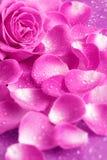 Rose y pétalos Imagen de archivo libre de regalías