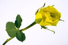 Rose yellow. A single beautiful yellow rose with green leaves and stem isolated on white background Royalty Free Stock Photo