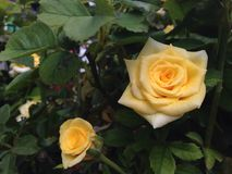 Rose. The yellow rose Royalty Free Stock Photos
