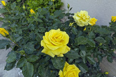 Rose yellow. Stock Images