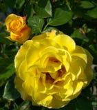 Rose yellow bush summer, background. Flower stock photography