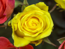 Rose - yellow Stock Photo