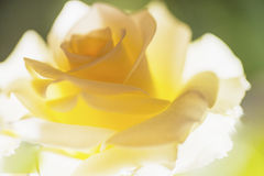 Rose yellow Stock Images