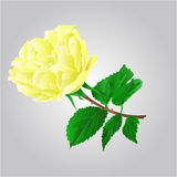 Rose yellow flower vector Royalty Free Stock Image