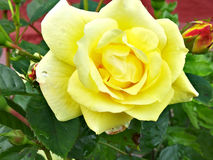 Rose. Yellow focus green bright Royalty Free Stock Photos