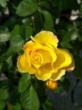Rose yellow garden summer, background. Natural royalty free stock photos