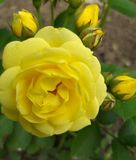 Rose yellow in the garden summer. Background royalty free stock images