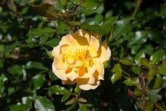 Rose yellow Stock Photo