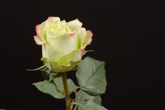 Rose. A yellow rose with red tip Royalty Free Stock Image