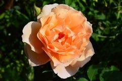 Rose. A yellow rose during summer Stock Photos